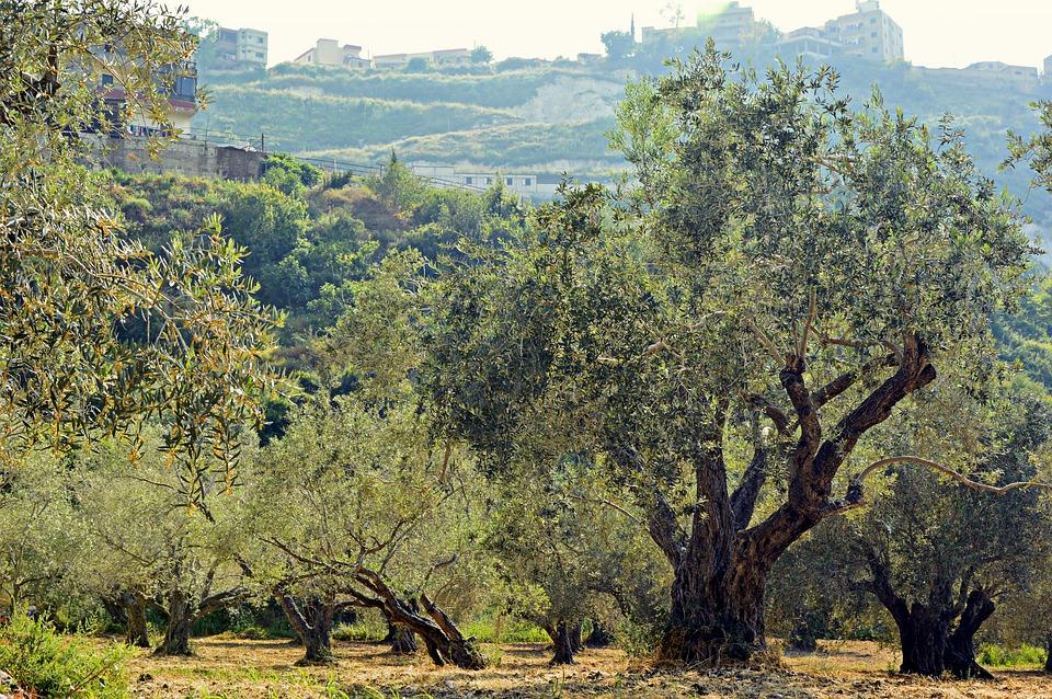 orto a novembre - Alberi di olivo