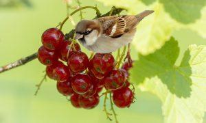 orto a novembre - Ribes e passerotto che becca