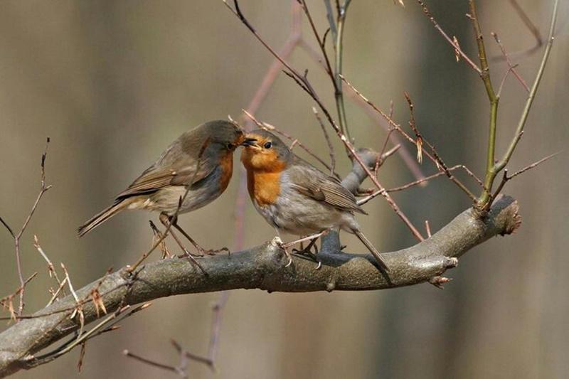 Lavori in campagna a gennaio - Uccellini che si baciano