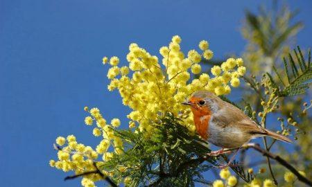 i giardini di marzo -Mimosa primaverile con pettirosso