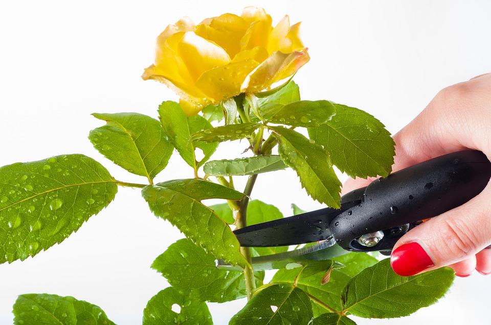 i giardini di marzo - Rosa da cogliere