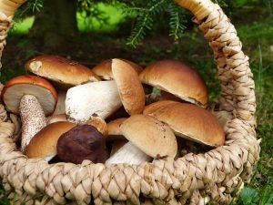 Cercare funghi in Ciociaria - Funghi Porcini in una cesta