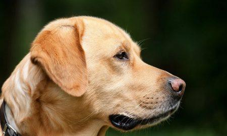 Cani anti #Covid-19 - immagine di Labrador