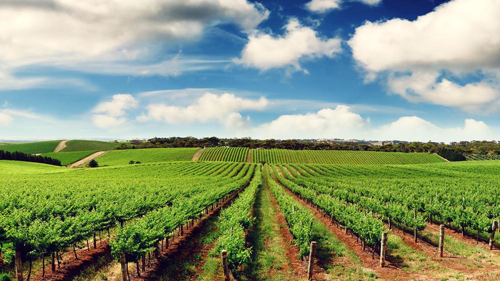 panorama  - Vigneti di vino per spumante