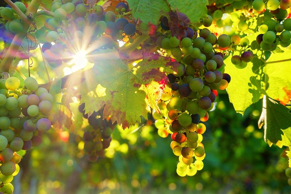 Cesanese del Piglio - Vigneto Cesanese con raggi di sole