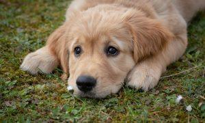 Guardie zoofile a Frosinone - Cucciolo di labrador