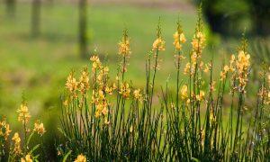 Ginestra - fiori in campo
