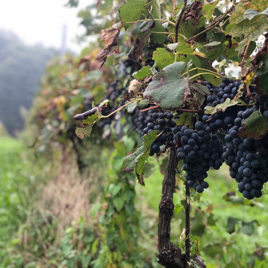 vendemmia nelle vigne locali