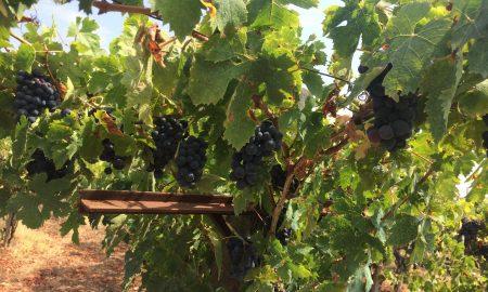 vendemmia nella vigne lametine