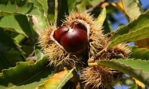 Castagne Sull'albero