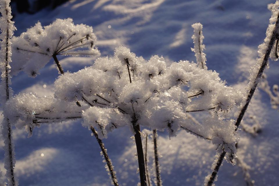 merla e candelora rami di neve