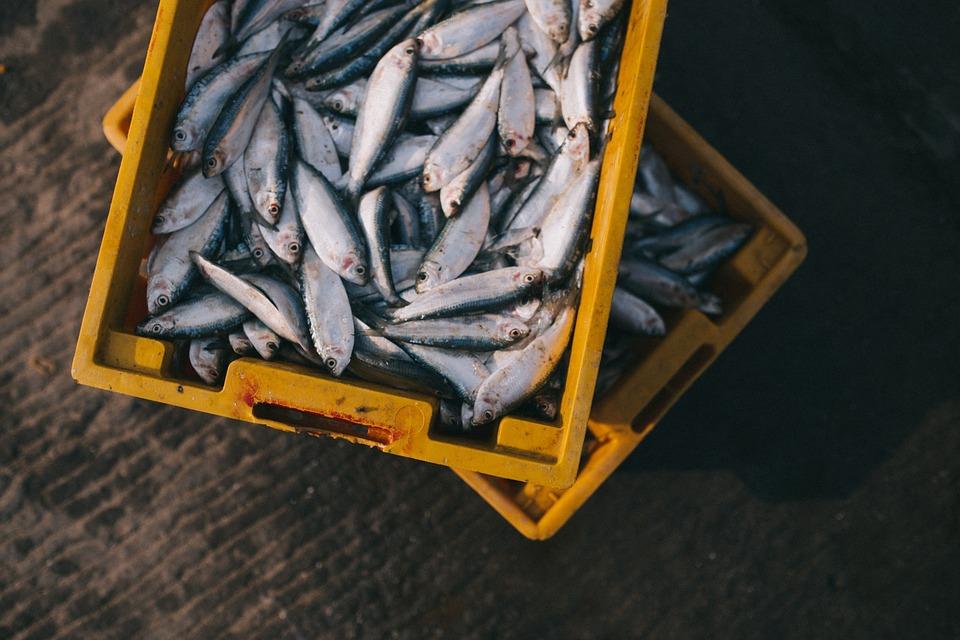 Ponza - due cassette gialle con tanti pesci appena pescati