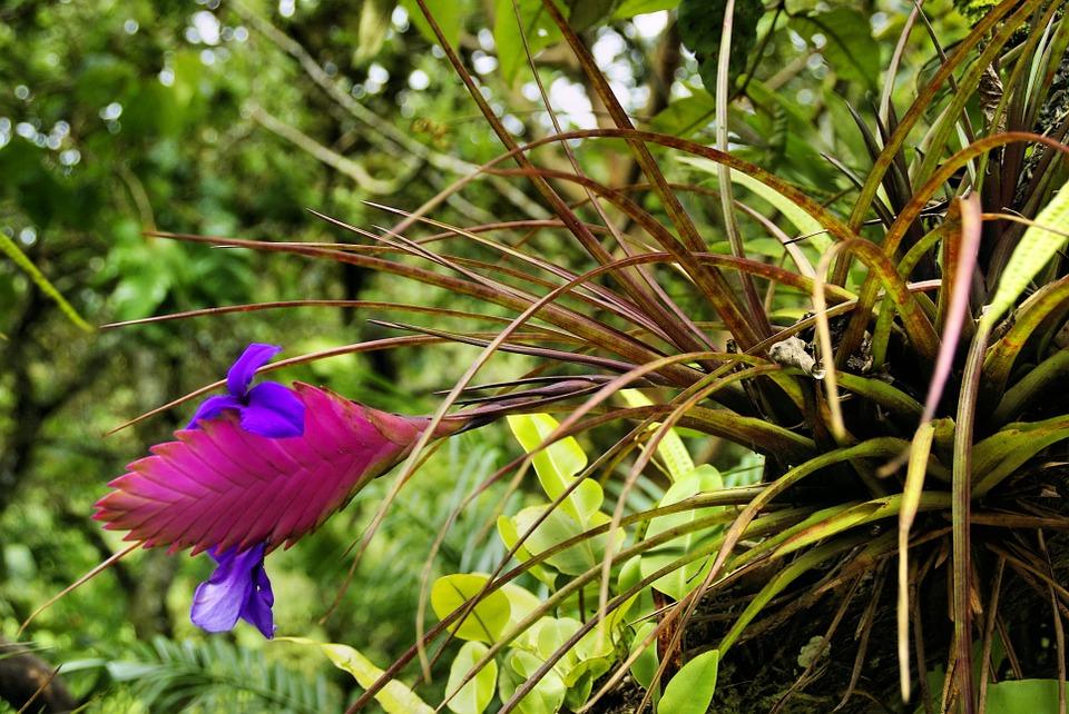 giardini di Ninfa - fiore viola, Tillandsia