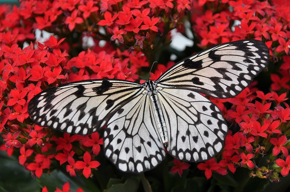 Farfalle e api a ninfa  - farfalla bianca e nera