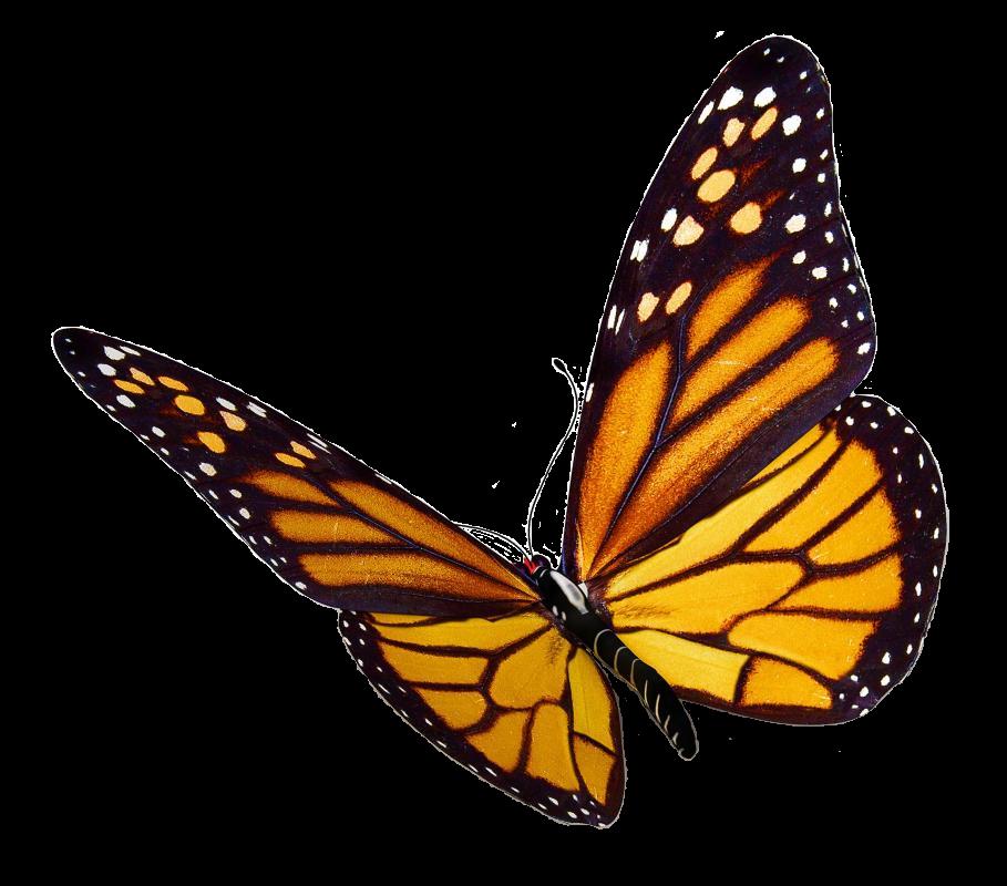Farfalle e api a ninfa  - Farfalla monarca