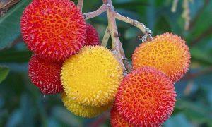 Il corbezzolo - Corbezzoli sulla pianta