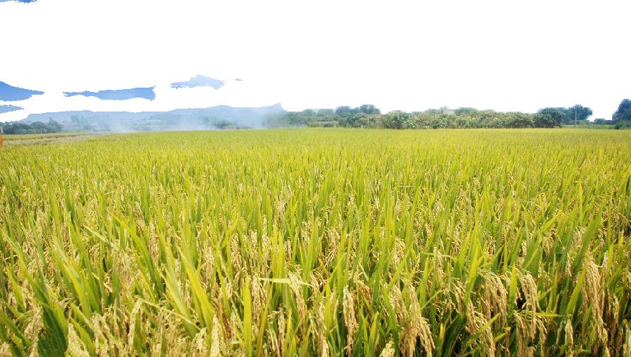 De.C.O. e Consulta per l'Agricoltura -  Campo Di Grano verde