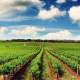 De.C.O. e Consulta per l'Agricoltura - Filari di vigna