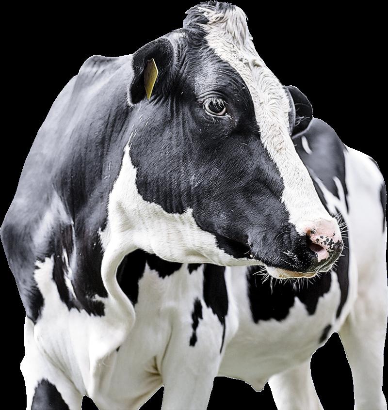 De.C.O. e Consulta per l'Agricoltura Mucca al pascolo
