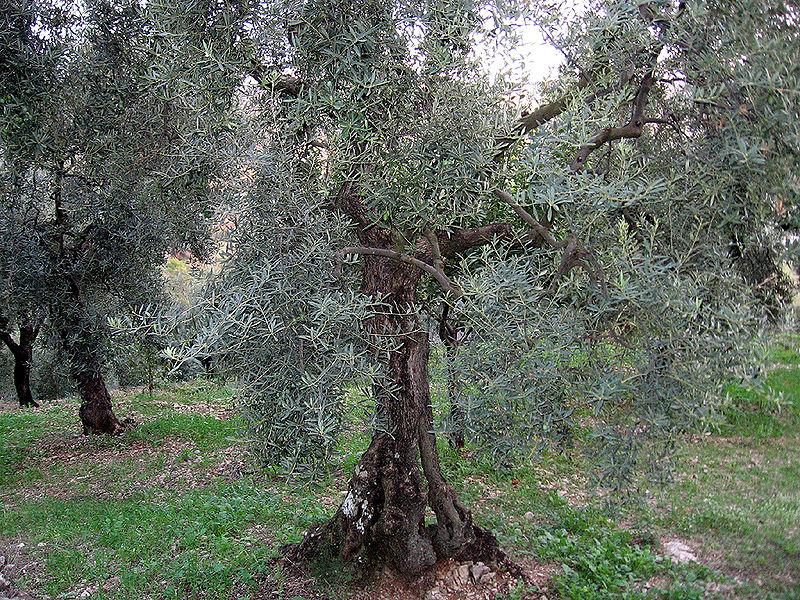 L'oliva Itrana - Olivo Di Itri molto vecchio