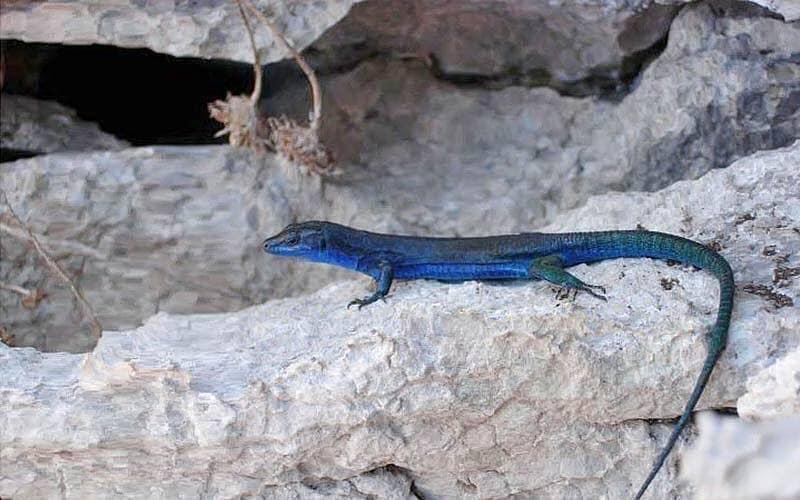avvistare la lucertola blu - Lucertola Blu dei faraglioni