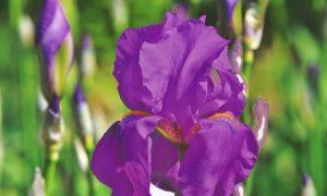 Iris setina - Un Iris Viola aperto