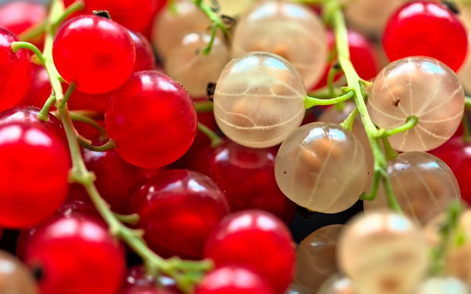Il ribes rosso - Ribes maturi