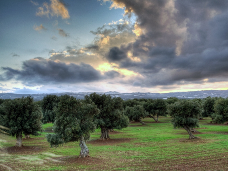 Campagne Salentine - distese di ulivi