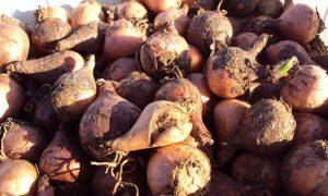 Il Bulbo Dei Lampascioni - ortaggio con notevoli proprietà salutari