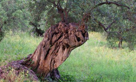 Ulivi Secolari Del Salento - tronchi dalle forme bizzarre