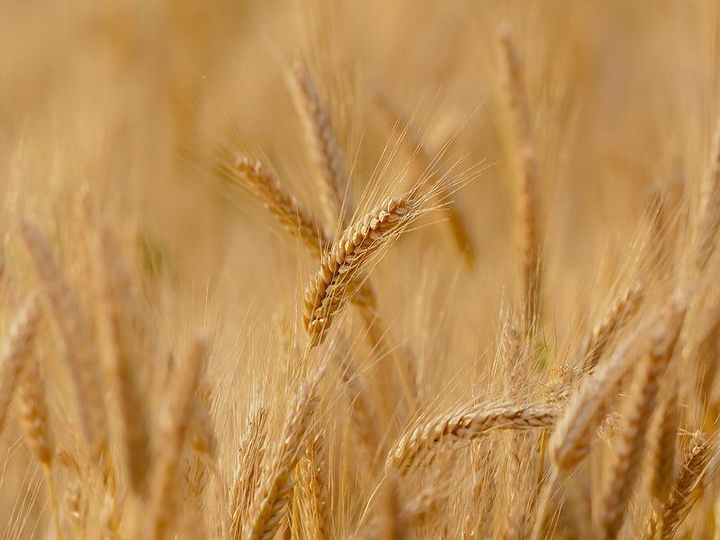 Distese di grano