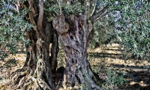 Ulivi Secolari e tronchi bizzarri