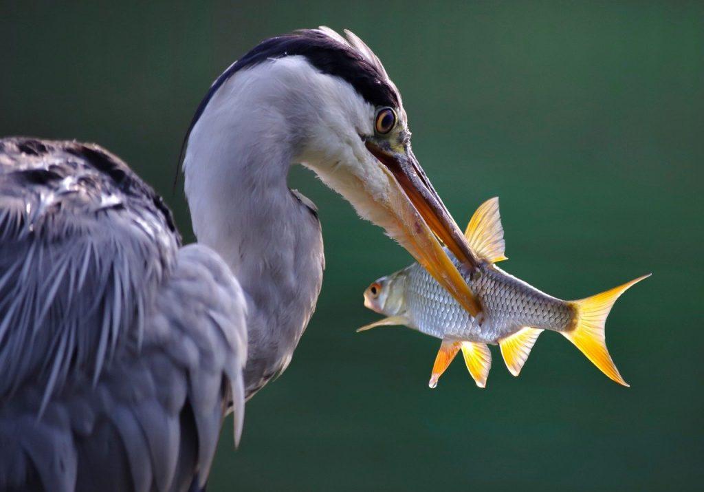 Airone che cattura un pesce, tra le specie di uccelli acquatici