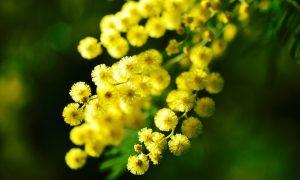 Ricorrenza Mimose 604606a27c4bf