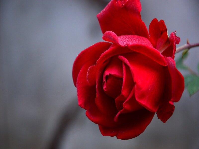 Rosa per una Riccorrenza speciale