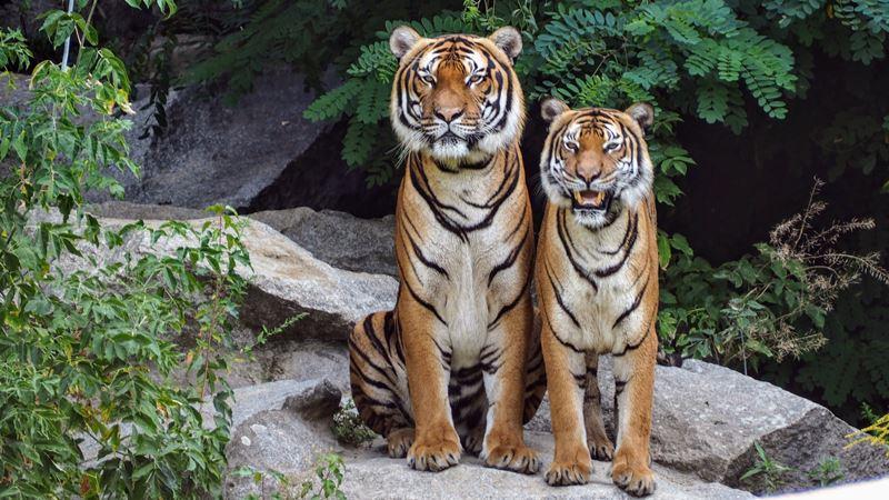 Tigri Del Jardim Zoológico de Lisboa