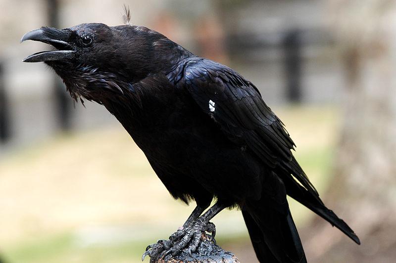 Corvi della Torre di Londra corvo