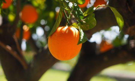 Fallen fruit. Albero d'aranci