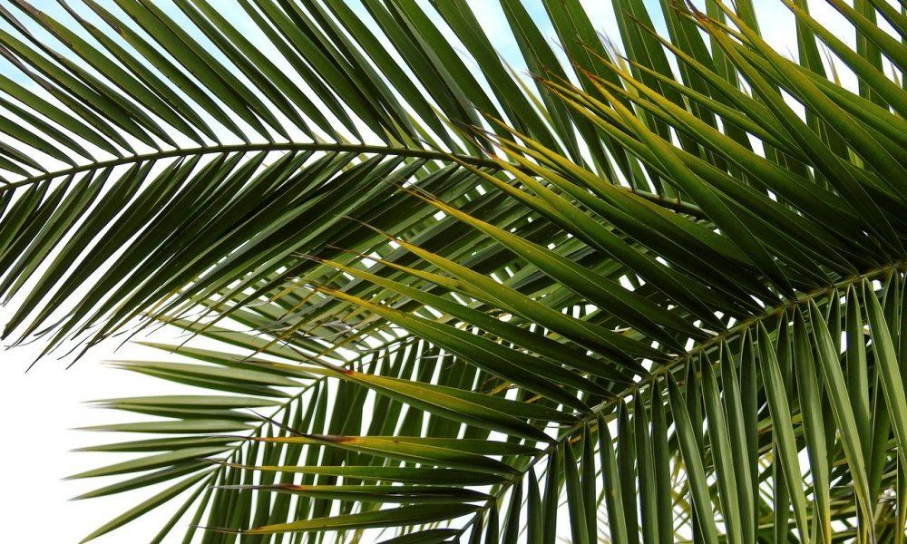 Palma, dettaglio di rami e foglie