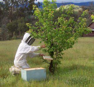 miele apicoltore