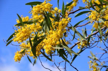 Festa della donna - foto della mimosa, simbolo della festa in Italia