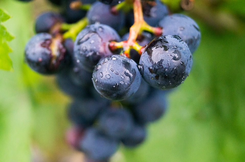 Malta International Wine Festival - grappolo d'uva