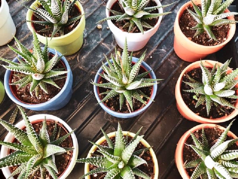 Aloe - tanti vasi con la pianta di aloe