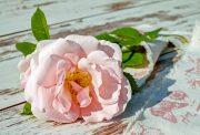 funerali - una rosa rosa