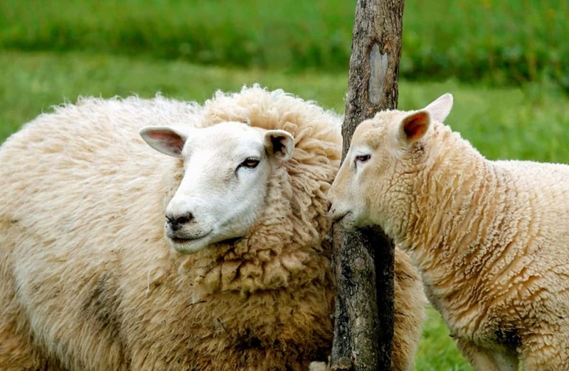 pignata di pecora-pecore