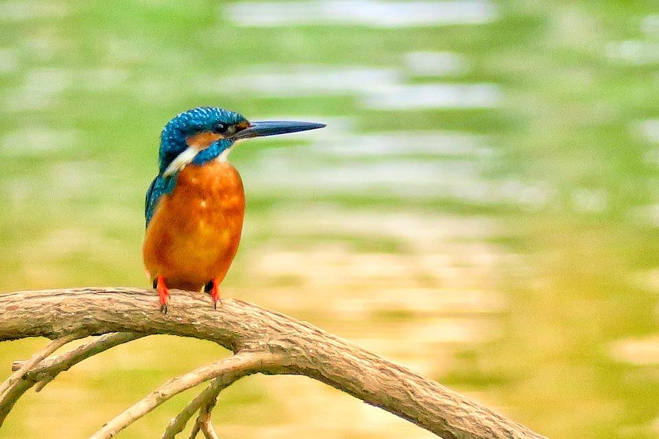 il lago di San Giuliano - Martin Pescatore che si appresta alla pesca