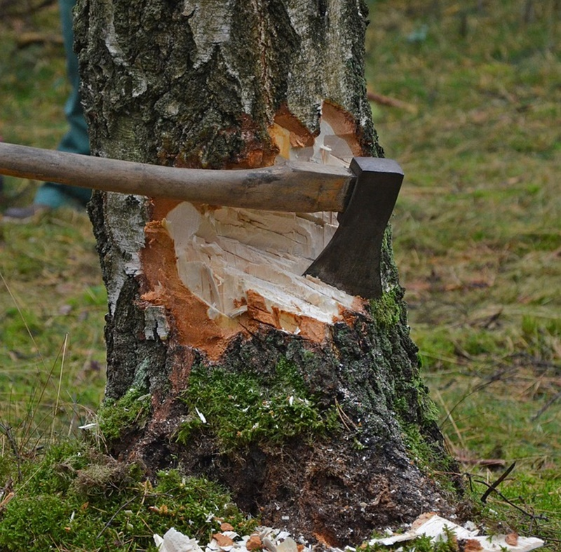 l'accettura - Scure conficcata nell'albero da abbattere