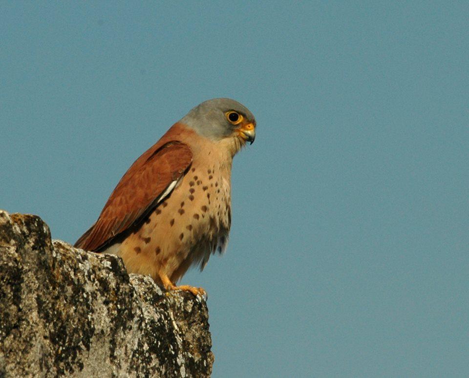 Il falco del Parco Della Murgia