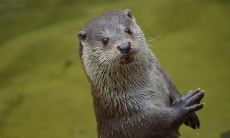 la lontra - Lontra che emerge dall'acqua