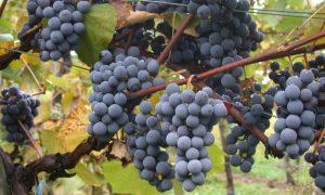 La fontana del vino: il Montepulciano